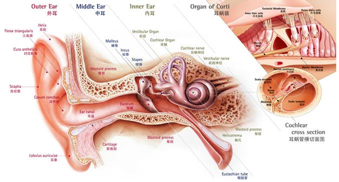 耳部解剖图